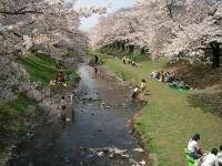 tachikawa-cherry-blossoms-tokyodan.jpg