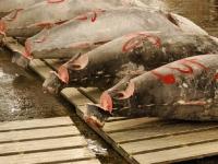 tsukiji-fish-market-tokyo-japan-tuna-auction1.jpg