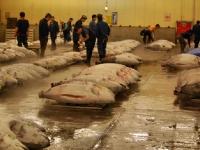 tsukiji-fish-market-tokyo-japan-tuna-auction5.jpg
