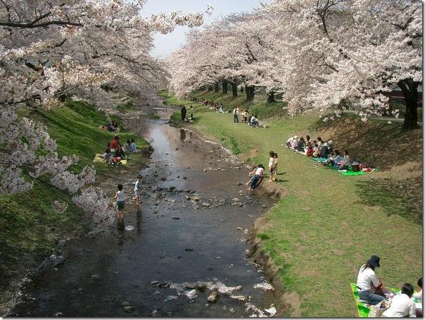 Tachikawa Cherry Blossoms - TokyoDan