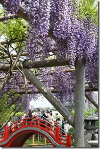 Wisteria Kameido Shrine Tokyo