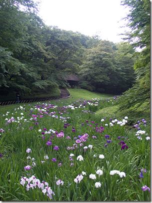 Meiji Jingu Iris Garden Tokyo Japan