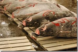 Tsukiji Fish Market Tokyo Japan Tuna Auction1